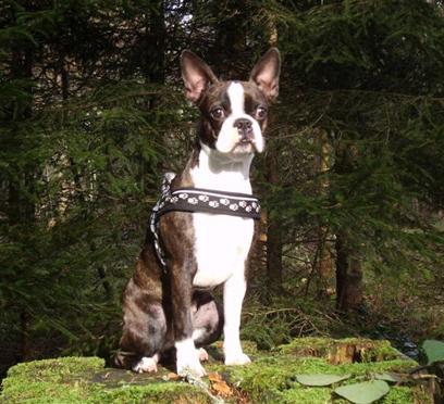 Der Boston Terrier Treuer Freund Und Begleiter Boston Terrier Schweiz