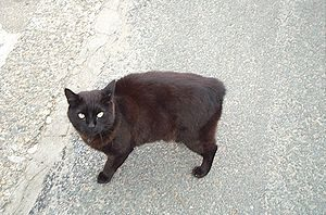 brachyurie-female_manx_cat